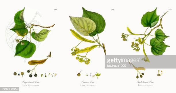 large-leaved lime, tilia grandifolia, victorian botanical illustration, 1863 - beech tree stock illustrations