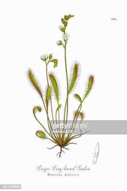 larger long-leaved sundew, drosera anglica, victorian botanical illustration, 1863 - plant bulb stock illustrations