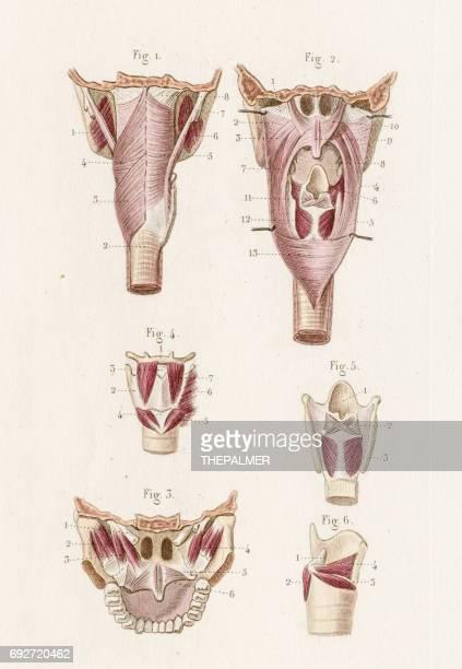 Anatomía laringe y el paladar, grabado de 1886