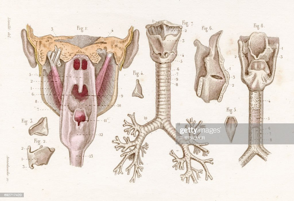 Larynx Trachea Anatomy Engraving 1886 Stock Illustration | Getty Images
