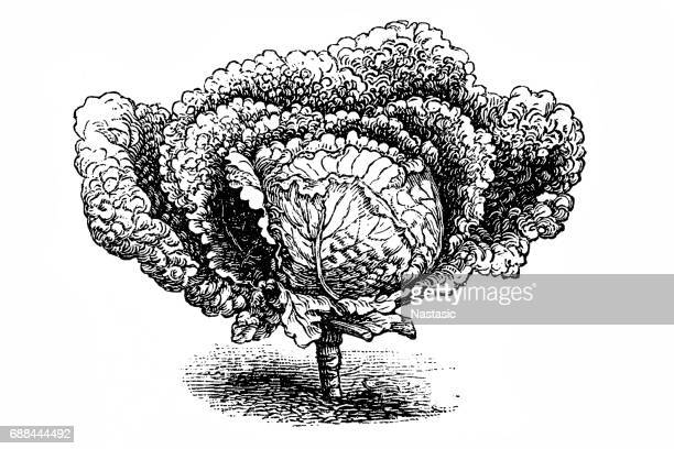 later, large savoy cabbage - savoy cabbage stock illustrations, clip art, cartoons, & icons