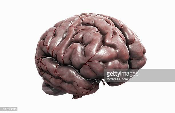 lateral angled view of the human brain. - pons stock illustrations, clip art, cartoons, & icons