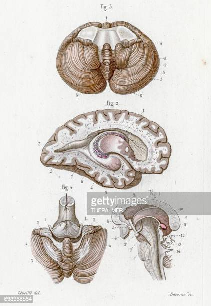lateral ventricle anatomy engraving 1886 - neuropathy stock illustrations, clip art, cartoons, & icons