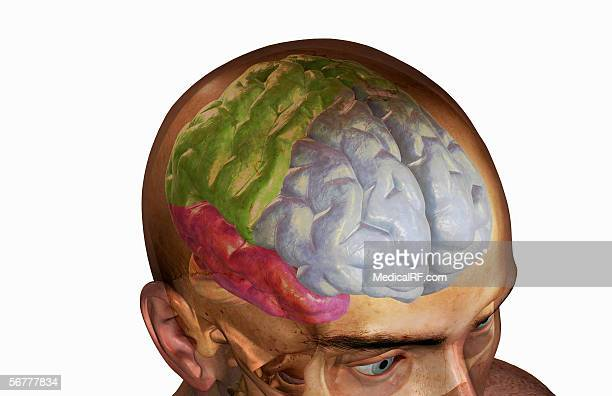 ilustrações, clipart, desenhos animados e ícones de lateral view, angled from above, of the cortical lobes of the brain within a head and skull. - lobo temporal