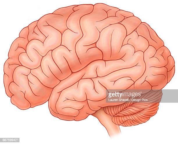 ilustrações, clipart, desenhos animados e ícones de lateral view of a normal brain - lobo temporal