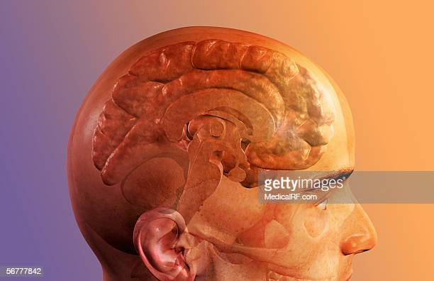 a lateral view of a sagittal sectioned brain. - diencephalon stock illustrations, clip art, cartoons, & icons