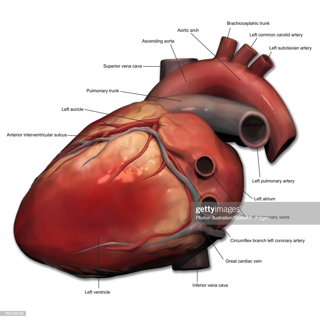 Lateral View Of Human Heart Anatomy Stock Illustration Getty Images