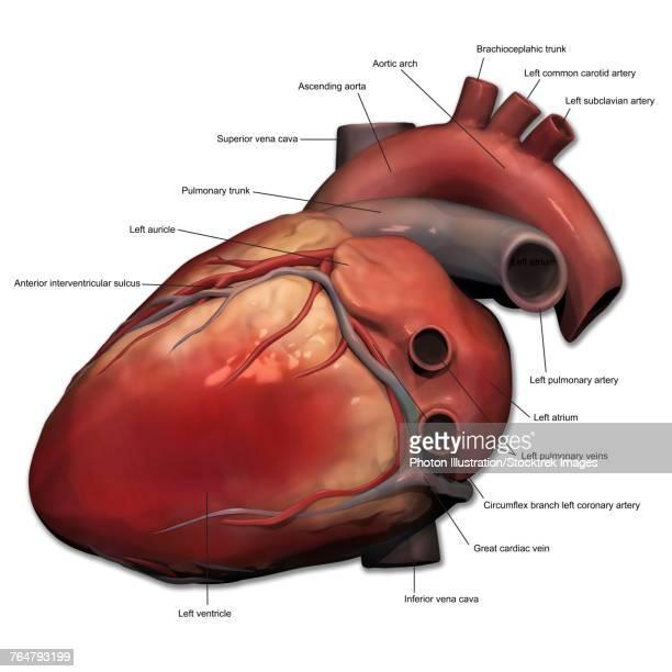 Brachiocephalic Artery Stock Illustrations And Cartoons   Getty Images