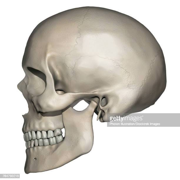 Lateral view of human skull anatomy.