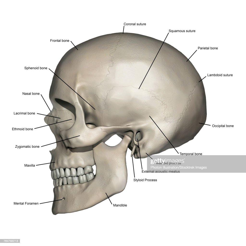 Lateral View Of Human Skull Anatomy With Annotations Stock ...
