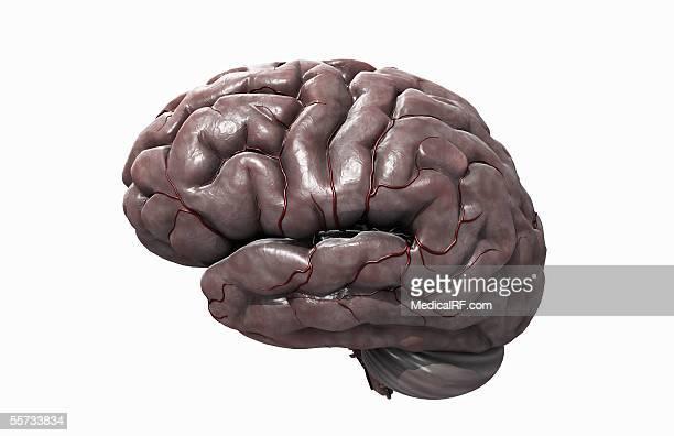 ilustrações, clipart, desenhos animados e ícones de lateral view of the human brain. - lobo temporal