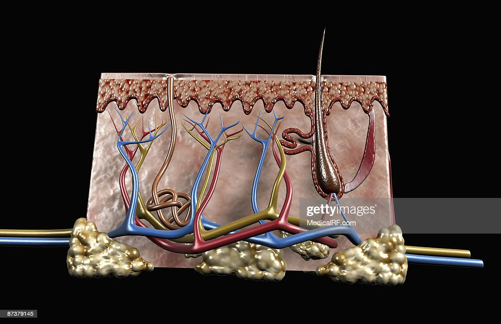 Layers Of The Skin Stock Illustration Getty Images