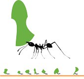 Leaf cutter ants marching
