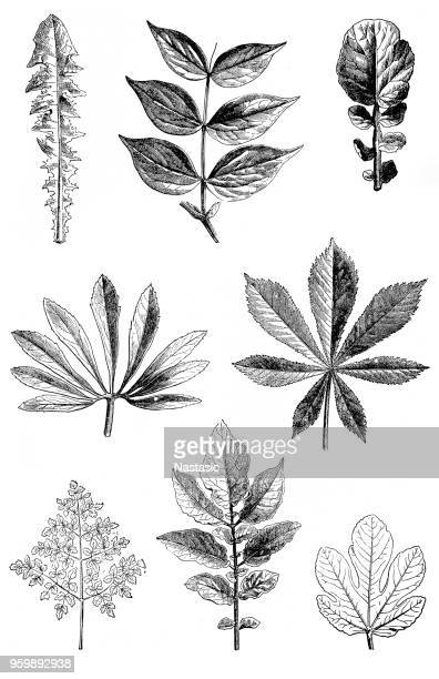 leaf shapes - deciduous tree stock illustrations, clip art, cartoons, & icons