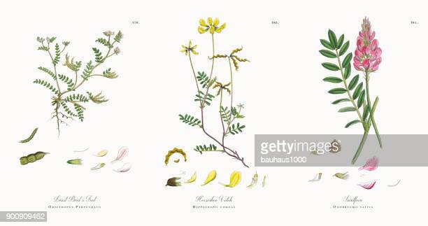 least bird's foot, ornithopus perpusillus, victorian botanical illustration, 1863 - plant bulb stock illustrations, clip art, cartoons, & icons