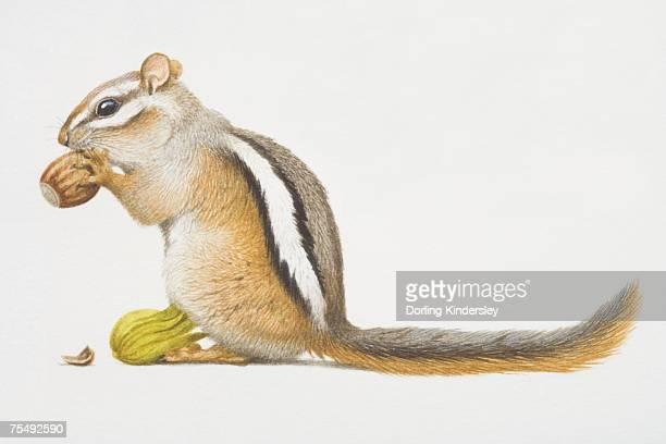 least chipmunk (tamias minimus), small squirrel-like rodent feeding on nut - chipmunk stock illustrations