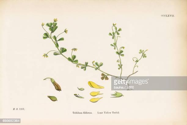 least yellow trefoil, trifolium filiforme, victorian botanical illustration, 1863 - flower part stock illustrations