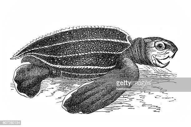 Leatherback sea turtle (sphargis coriacea)