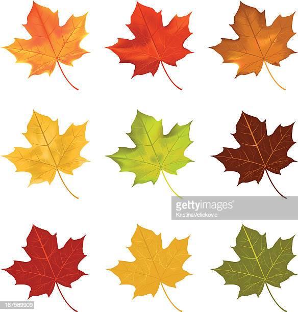 leaves - maple leaf stock illustrations