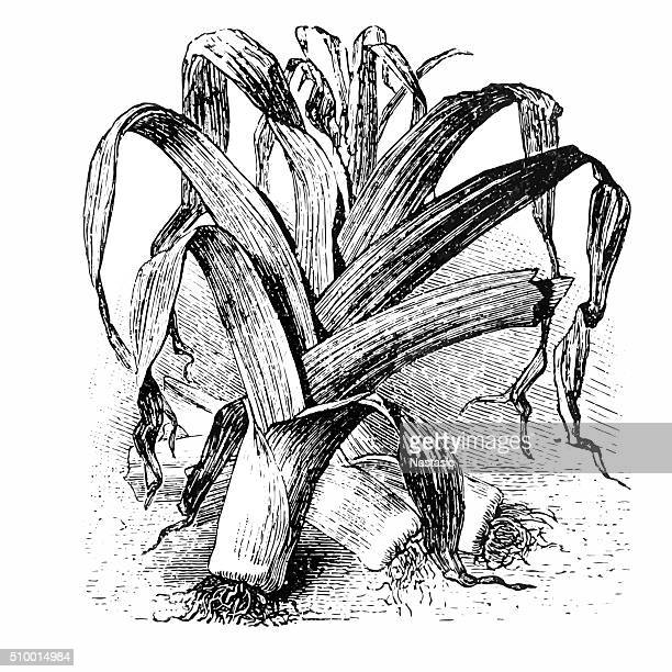 World's Best Leek Stock Illustrations - Getty Images