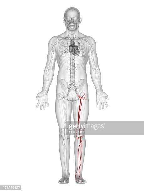 Artery Leg Stock Illustrations And Cartoons Getty Images