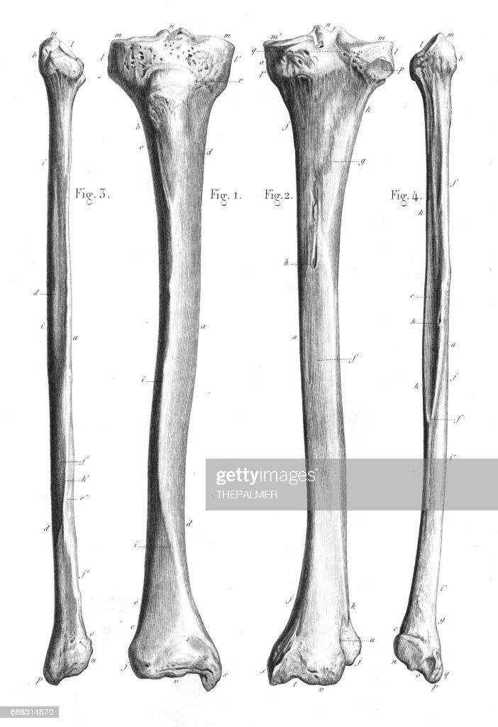 Leg Bones Anatomy Engraving 1866 Stock Illustration Getty Images