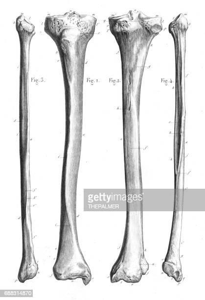 ilustraciones, imágenes clip art, dibujos animados e iconos de stock de anatomía de los huesos de la pierna grabado 1866 - hueso de la pierna