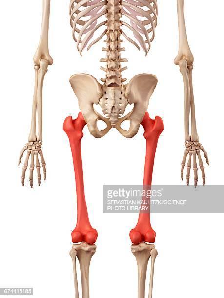 ilustraciones, imágenes clip art, dibujos animados e iconos de stock de leg bones - femur
