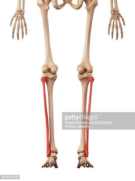 ilustraciones, imágenes clip art, dibujos animados e iconos de stock de leg bones - hueso de la pierna