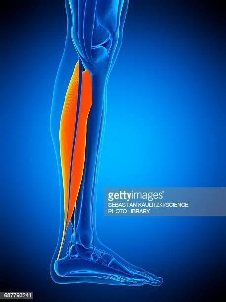 ilustraciones, imágenes clip art, dibujos animados e iconos de stock de leg muscle, illustration - músculo humano