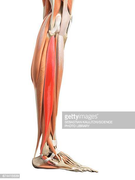 Fibularis Longus Muscle Stock Illustrations And Cartoons | Getty Images