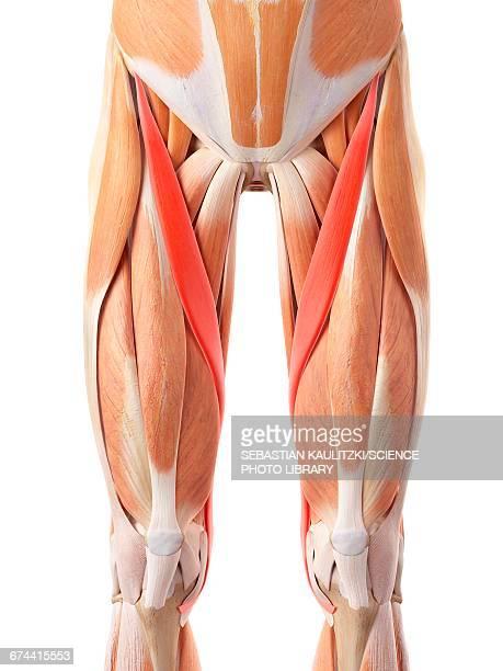 Ilustraciones de Stock y dibujos de Músculo Sartorio | Getty Images