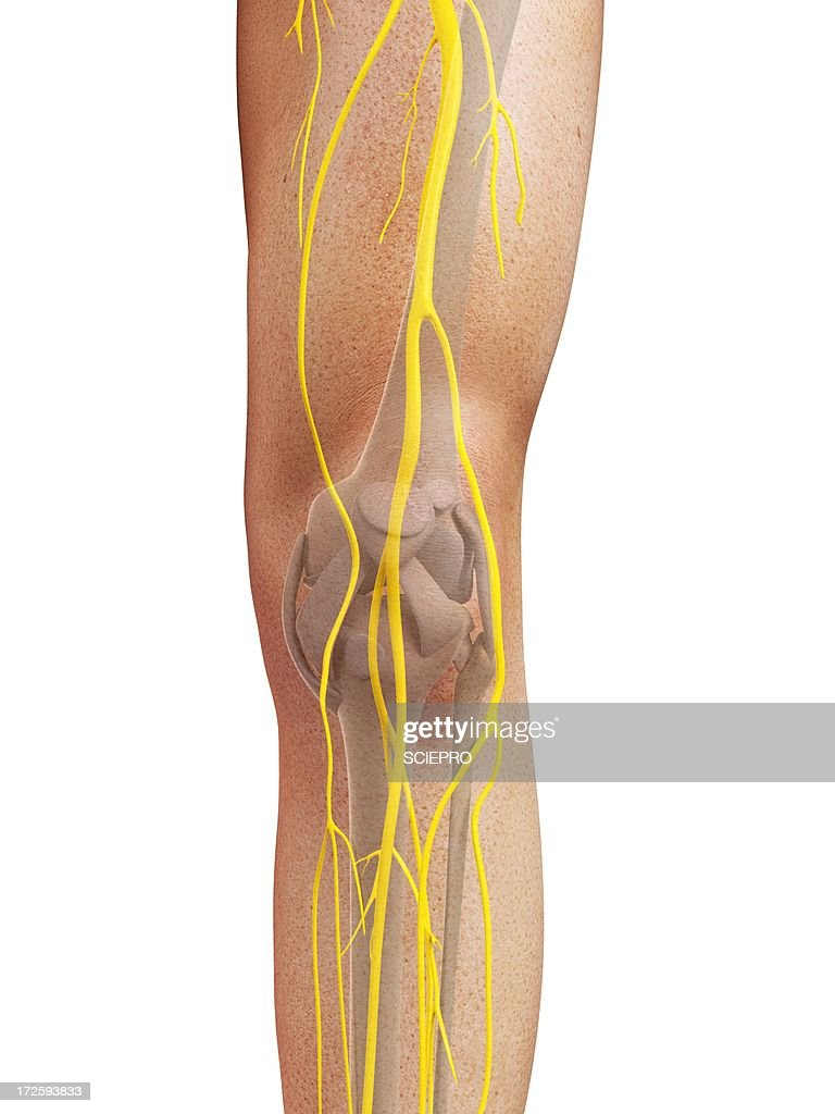 Leg Nerves Artwork Stock Illustration Getty Images