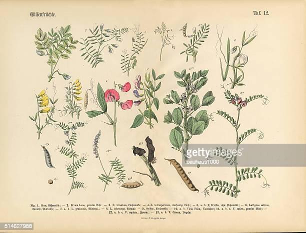 Legumes, Victorian Botanical Illustration