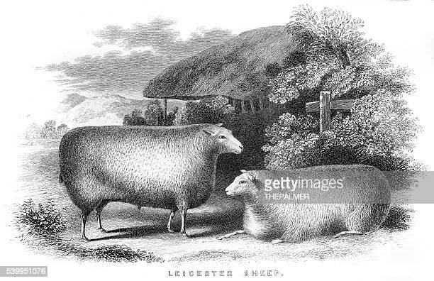 leicester sheeps engraving 1850 - sheep stock illustrations, clip art, cartoons, & icons