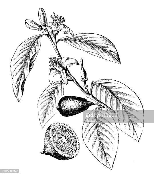 lemon (citrus limon) - citrus fruit stock illustrations, clip art, cartoons, & icons