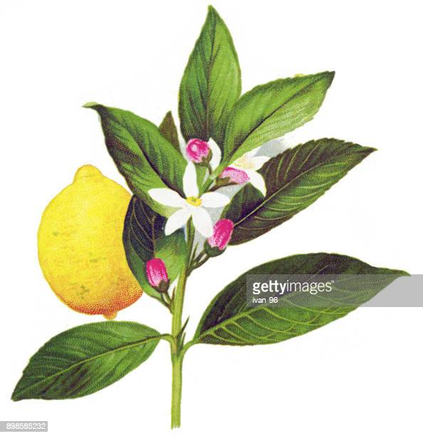 lemon - citrus fruit stock illustrations, clip art, cartoons, & icons