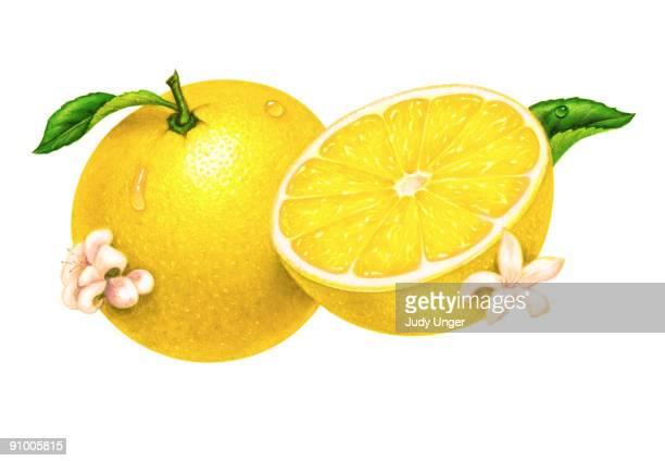 lemons - 新鮮点のイラスト素材/クリップアート素材/マンガ素材/アイコン素材