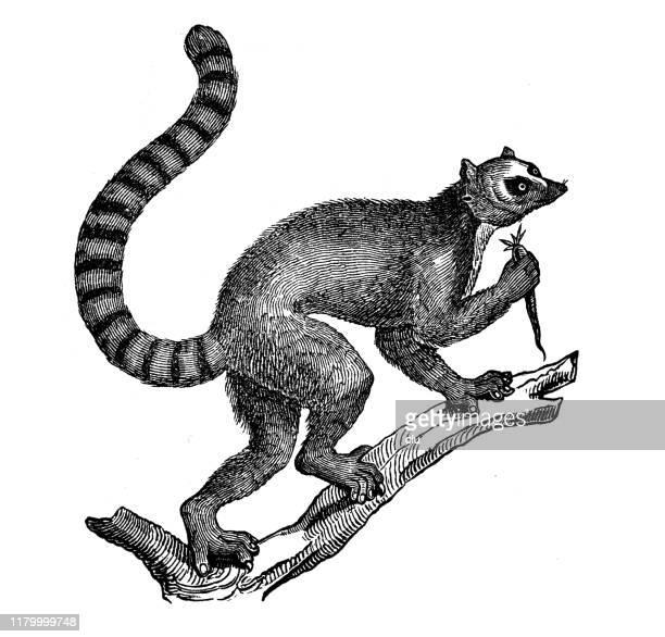 lemur catta - lemur stock illustrations, clip art, cartoons, & icons