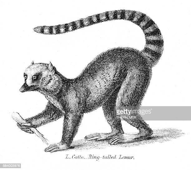 lemur illsutration 1869 - madagascar stock illustrations, clip art, cartoons, & icons