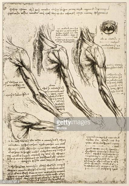 Leonardo's sketches and drawings: anatomy arm muscles