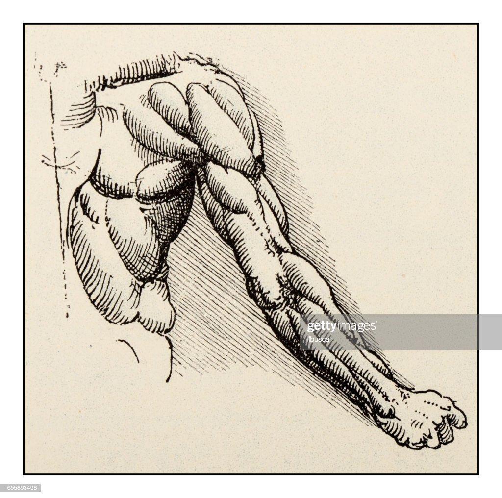 Leonardos Schetsen En Tekeningen Arm Spieren Anatomie ...