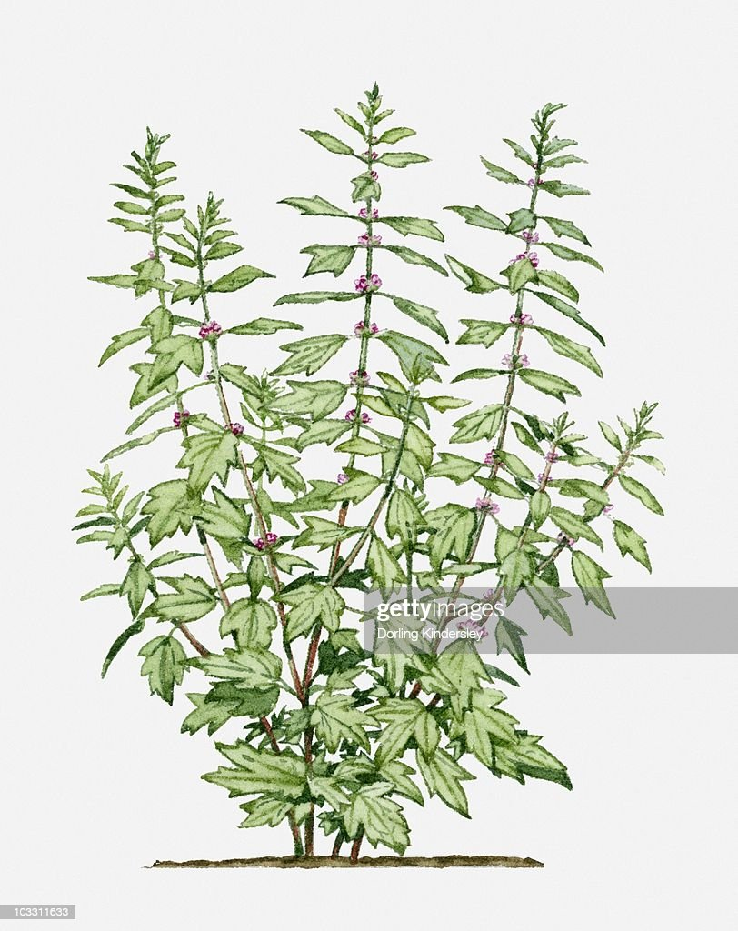 Leonurus cardiaca with small pink flowers and green leaves on long leonurus cardiaca motherwort with small pink flowers and green leaves on long stems mightylinksfo