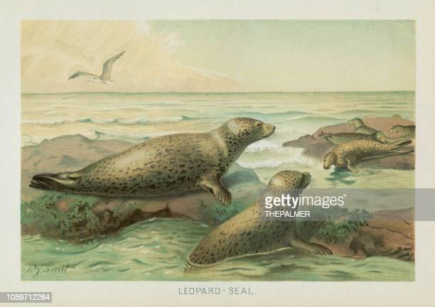 illustrazioni stock, clip art, cartoni animati e icone di tendenza di cromotiografo a foca leopardata 1896 - vertebrato