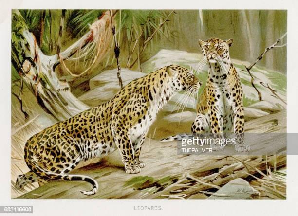 ilustrações de stock, clip art, desenhos animados e ícones de leopards  lithograph 1894 - litografia