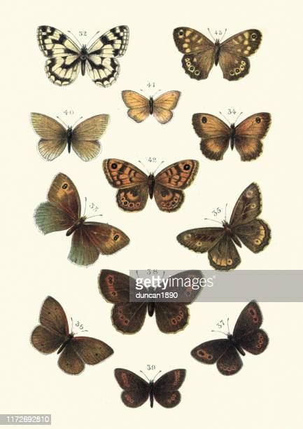 lepidoptera, butterflies, marbled white butterfly, heath, brown, ringlet, greyling - graphic print stock illustrations