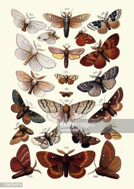 illustrazioni stock, clip art, cartoni animati e icone di tendenza di lepidopterologia, insetti, falene, leopardo, reed, tussock, gypsy, eggar, volpe, dicembre - collezione