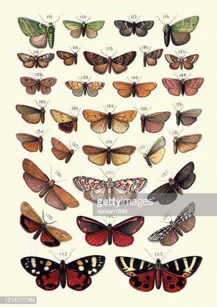 illustrations, cliparts, dessins animés et icônes de lépidopterologie, moths, erebidae, vert osler, footman, arcs noirs, cinnabar, tigre - papillon de nuit