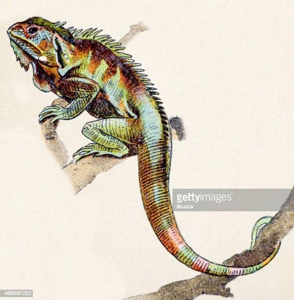 ilustraciones, imágenes clip art, dibujos animados e iconos de stock de menor antillean iguana y reptiles animales antigüedades de ilustración - iguana