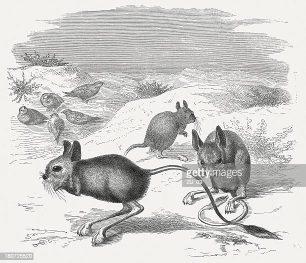 Lesser Egyptian jerboa (Jaculus Jaculus), wood engraving, published in 1875